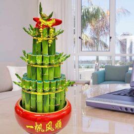Lucky Bamboo (Dracaena Sanderiana) In Crystal Soil
