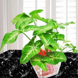 Heart-Shape Leaves Soilless Syngonium Plant