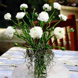 Ranunculus Flowers With Live Air Plant In Glass Vase.
